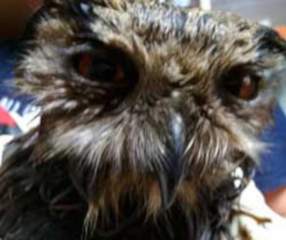 В Челябинске спасли сову, занесенную в Красную книгу. 394514.jpeg