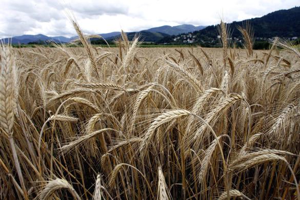 Скачка цен на зерно из-за снятия экспортных пошлин не ожидается - источник.