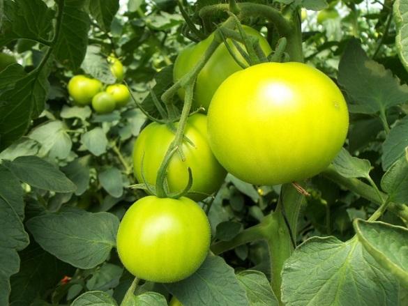 Три способа использовать зеленые помидоры в готовке