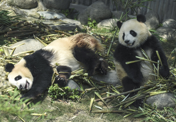 Экологи заявили об опасности вымирания больших панд. Экологи заявили об опасности вымирания больших панд
