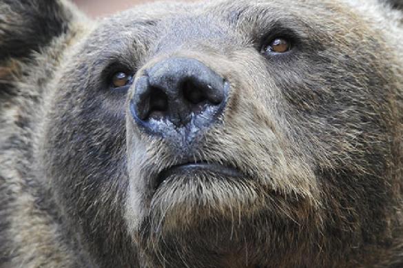 В Сеть попала видеозапись нападения медведя  в Воронежской области. 377525.jpeg