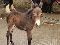 В Британии родился самый маленький мул в мире