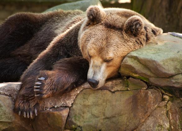 Жителей Ноябрьска беспокоит не ушедший в спячку медведь. 394528.jpeg