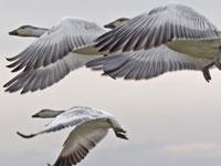Нью-йоркских гусей принесут в жертву безопасности