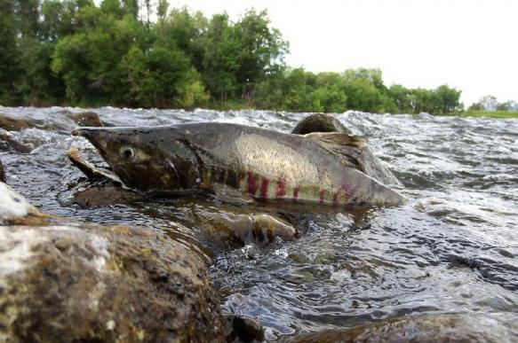 """Морские рыбы спасаются от вымирания на """"морских огородах"""". 394532.jpeg"""