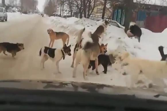 Жителю Чувашии грозит тюрьма за сбитых бездомных собак.