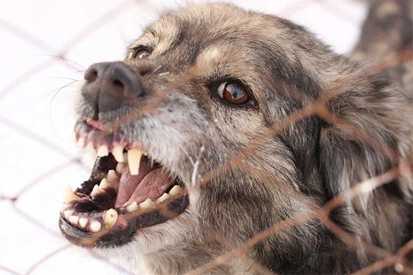Стая бездомных собак напала на ребенка в Красноярске