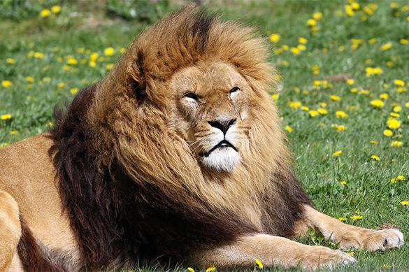 В Саратовской области домашний лев набросился на мальчика