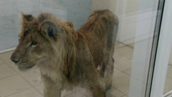 В иркутском питомнике спасают льва. 394545.jpeg