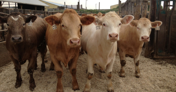 В Брянской области будут чипировать все поголовье рогатого скота