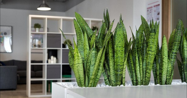 Самые живучие домашние растения. 404549.jpeg