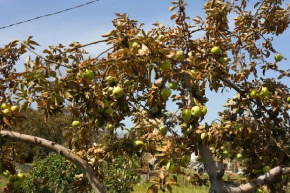 Крымчане жалуются на болезни и повальную гибель растений. 391551.jpeg