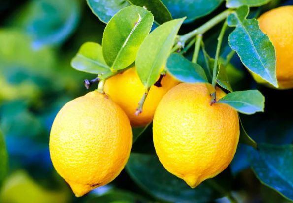 Лимонное здоровье. Секретные свойства любимого продукта. лимон