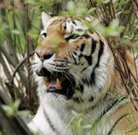 Турист стал жертвой нападения тигра в Пекине