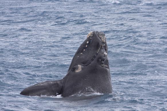 Американские рыбаки заметили редкого кита. 396558.jpeg