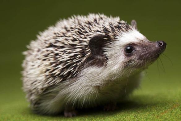 Все о ежах: семь фактов об этих очаровательных животных. Часть 2. 394561.jpeg