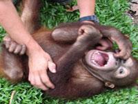 Люди научились смеяться благодаря обезьянам