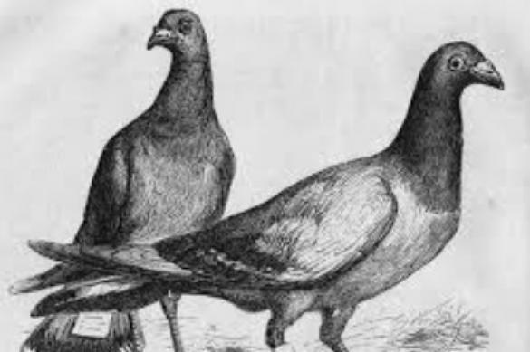 Животные-герои: как голубка спасла солдат в годы Первой мировой. 394564.jpeg
