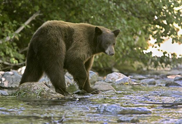 Сибиряк отбился от медведя компьютером.