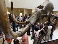 На аукцион в Андорре будет выставлен скелет сибирского мамонта