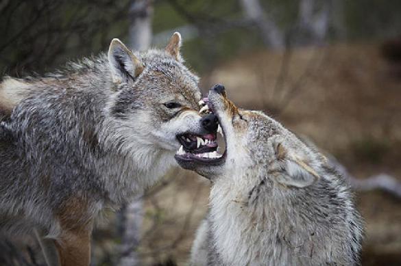 2,3 миллиона диких животных убито минсельхозом США. 387573.jpeg