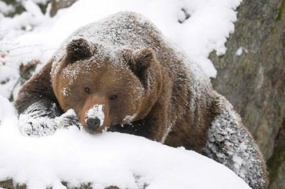 Медведь пришел на зимнюю спячку в закрытый город. 395575.jpeg