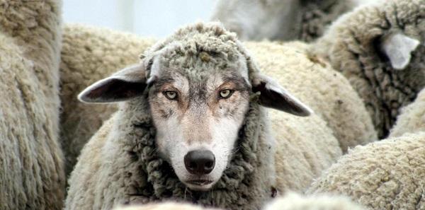 Волки в овечьих шкурах. 404575.jpeg