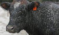 Турист отобрал у баварской коровы колокольчик. cow
