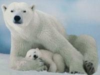 Все, кто сообщит о браконьерской охоте на белого медведя