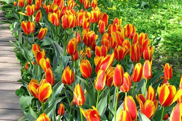 Осень - время сажать тюльпаны. 392580.jpeg
