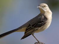 Птицы узнают своих обидчиков в лицо