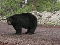 Медведь растерзал двух туристов на Камчатке. bear