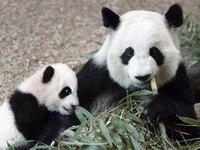 Эдинбургский зоопарк создает пандам романтическую атмосферу. 281586.jpeg