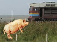 Китайские свиньи заманивают туристов в поезда
