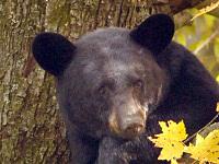 медведь. 247589.jpeg