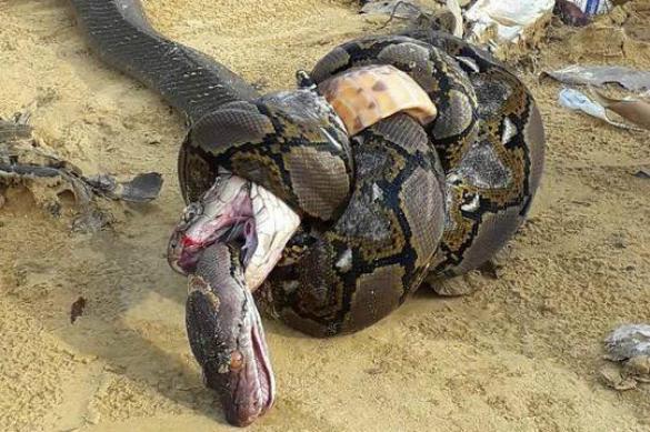 Как в Голливуде: две самых длинных змеи в мире убили друг друга. 382592.jpeg