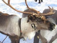 Жители Воркуты отмечают День оленевода