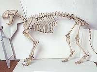 Китаец попытался вывезти из Приморья скелет амурского тигренка