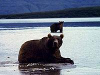 На Курилах стартовала программа по изучению медведей