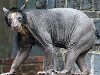 Лысые медведицы задали ученым неразрешимую загадку