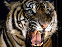 Житель Малайзии арестован за контрабанду частей тела тигров. 280602.jpeg