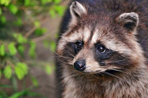 Российские врачи удалили еноту катаракту. Российские врачи удалили еноту катаракту
