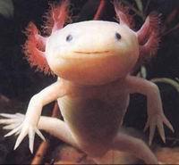 Саламандры научат людей выращивать органы