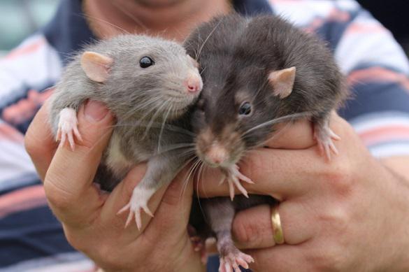 Как правильно выбрать крысу. 395605.jpeg