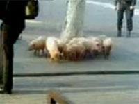 свиньи. 249610.jpeg