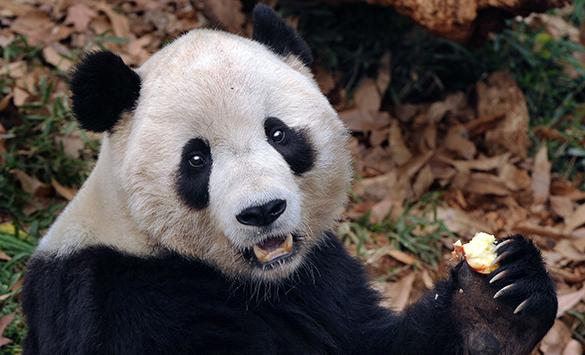 Китай покарает убийц панды, торговавших её мясом. панда