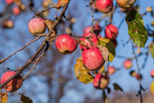 Житель Украины несколько лет возил польские яблоки в Россию под видом белорусских. 394613.jpeg