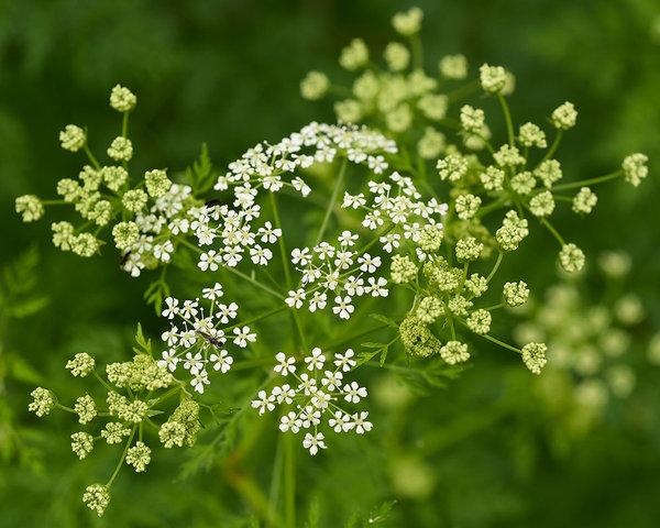 Женские лечебные травы - какая от чего?. Болиголов