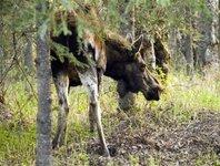 Спасатели поймали в центре Нижнего Новгорода дикого лося. moose