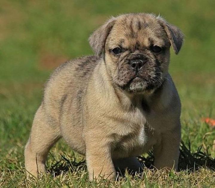 Собачий мир: самые интересные породы метисов. 403622.jpeg